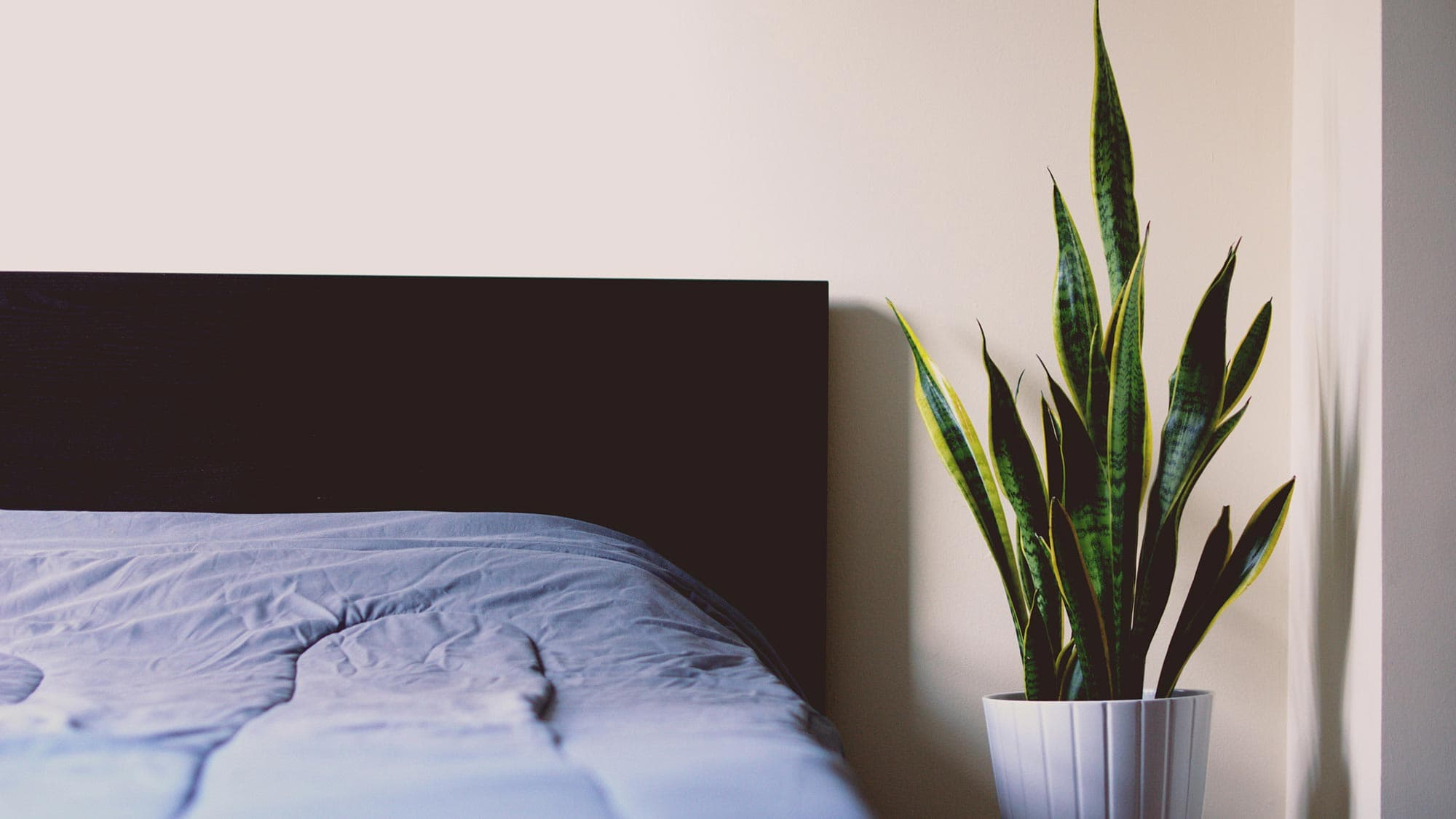 An image of a house plant in white pot, at the side of a bed with a black headboard.